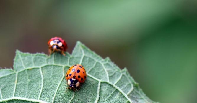 ladybug-2442012_960_720